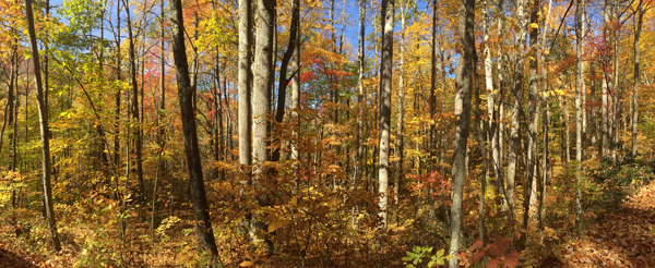 Big Ivy forest, Pisgah National Forest, panoramic photograph by Mary Edna Fraser